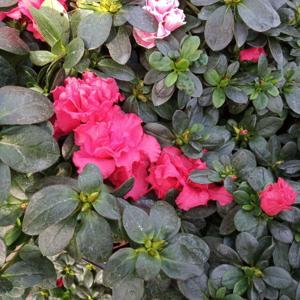 Azalka indická květináč 12cm