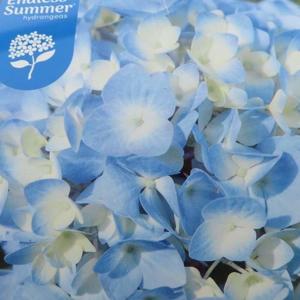 Hortenzie 'Endless Summer' Blue květináč 10 litrů