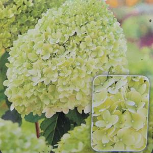 Hortenzie latnatá 'Limelight'® květináč 2 litry