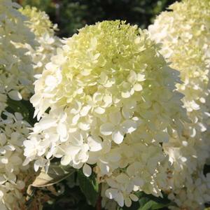 Hortenzie latnatá 'Phantom' květináč 10 litrů