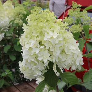 Hortenzie latnatá 'Phantom' květináč 20 litrů