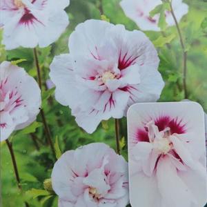 Ibišek syrský 'China Chiffon'® květináč 2,5 litru