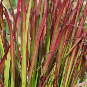 Imperata cylindrica 'Red Baron' C10
