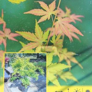 Javor dlanitolistý 'Orange Dream'  květináč 2,5litru