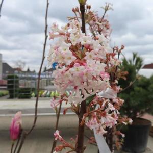 Kalina bodnantská 'Dawn' květináč 25 litrů
