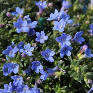 Kamejka 'Heavenly Blue' 1,5 litru