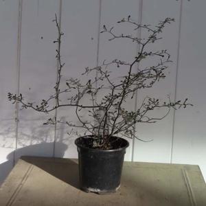 Korokie skalníkovitá květináč 10cm