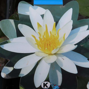 Leknín 'Odorata Alba' květináč 11cm