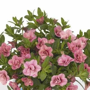 Minipetúnie plnokvětá růžová 4ks 11cm