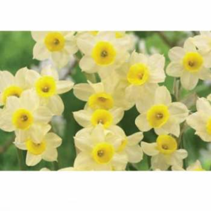 Narcis 'Minnow' 5ks