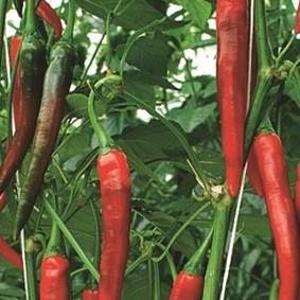 Paprika 'Fireflame' neroubovaná