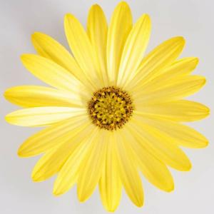 Paprskovka žlutá 4ks 11cm
