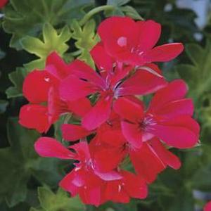 Pelargonie převislá červená plnokvětá 4ks 11cm