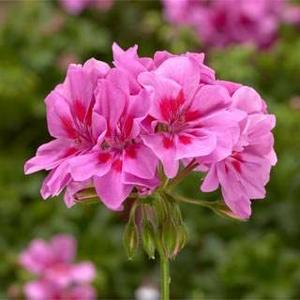 Pelargonie převislá růžová plnokvětá 4ks 11cm
