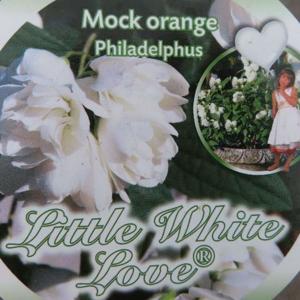 Pustoryl 'Little White Love' květináč 5 litrů