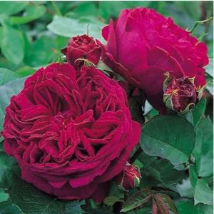 Růže D. Austin 'Falstaff' 10 litrů