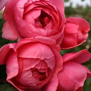 Růže Kordes Parfuma 'Gartenprizessin Marie-José' 2L kontejner