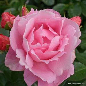Růže Kordes 'Poetry' 5 litrů