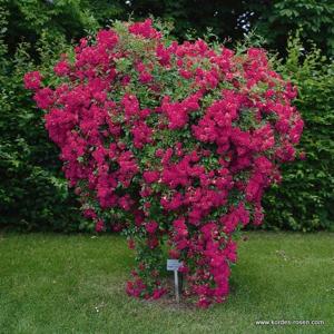 Růže Kordes 'Super Excelsa' 2 litry