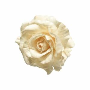 Růže ODA květ umělá na klipu krémová 13cm