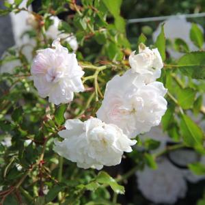 Růže 'Sea Foam' 1,4 litru