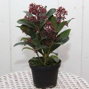 Skimie japonská 'Rubella' květináč 11 cm