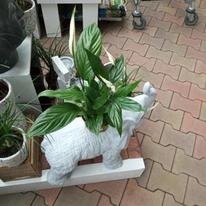 Spathiphyllum květináč 12 cm