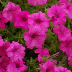 Surfinie tmavě růžová 4ks 11cm