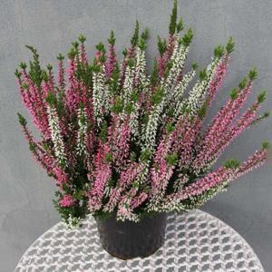 Vřes obecný 'Trios' 13cm květináč